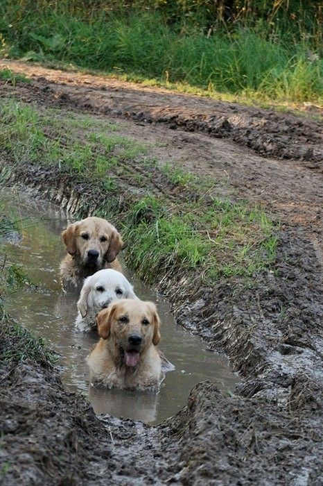 Muddy buddies...: Animals, Dogs, Pet, Mud Bath, Puppy, Friend, Golden Retriever, Spa
