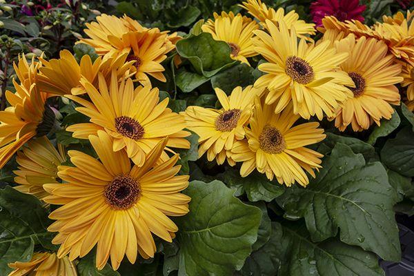 Beautiful Yellow Gerbera Daisies Flowers With Leaves Free Stock Photos Gerbera Flowers Free Stock Photos Image