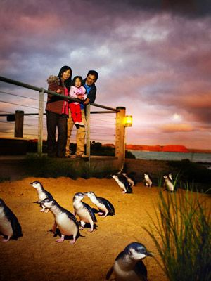 The Phillip Island Penguins, AMAZING!