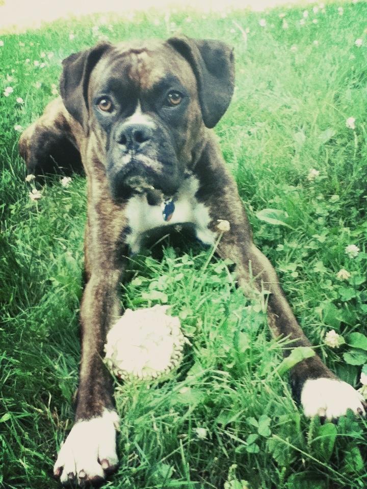 #softball #dog #boxer