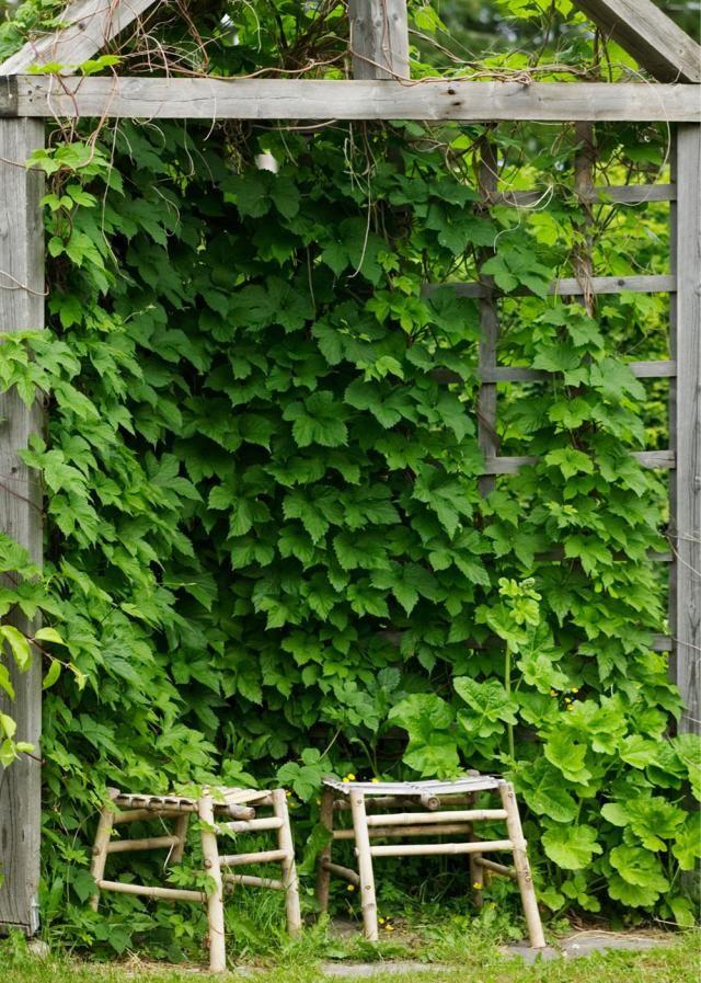 Humalasta kasvatettu lehtimaja tarjoaa suojaa paahteelta. - A hop arbour provides shelter from the heat. http://www.viherpiha.fi/pihasuunnittelu/3-x-pihan-mielipaikka