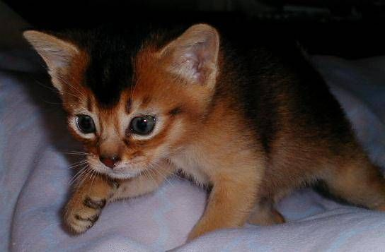 http://pusscats.com/Somali_Cats-Kitten.jpg -- Somali cat or fox faced cat