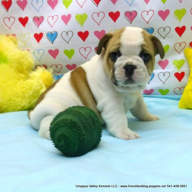 english bulldog puppies oregon 1000 ideas about bulldog puppies for sale on pinterest 2164
