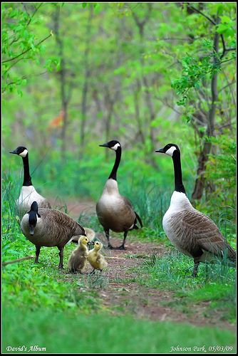 Canadian Goose family on a stroll
