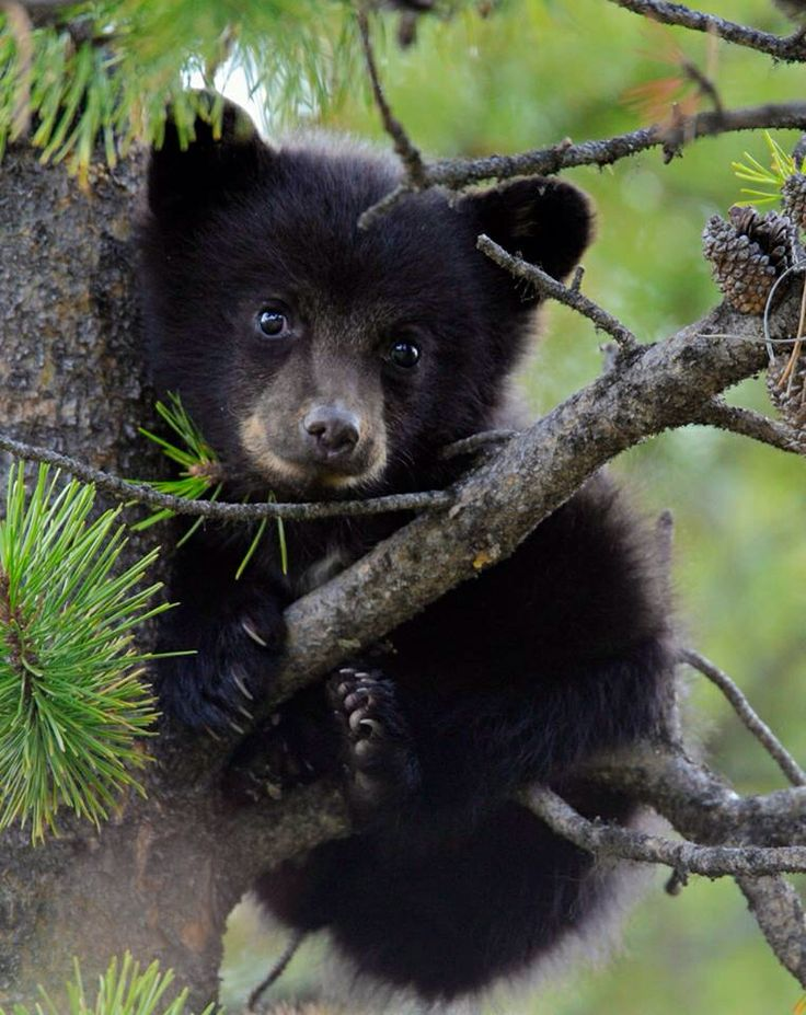 Very young Black Bear Cub.                                                                                                                                                      More
