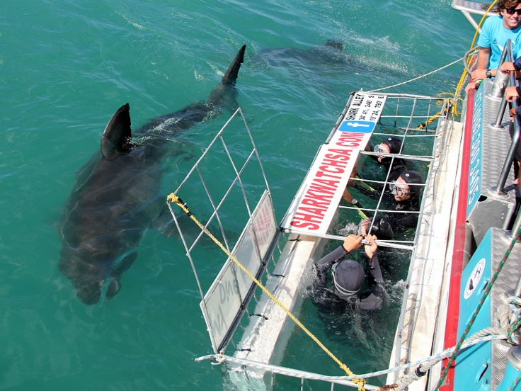 Discover and Protect the Great White Shark in South Africa with Marine Dynamics