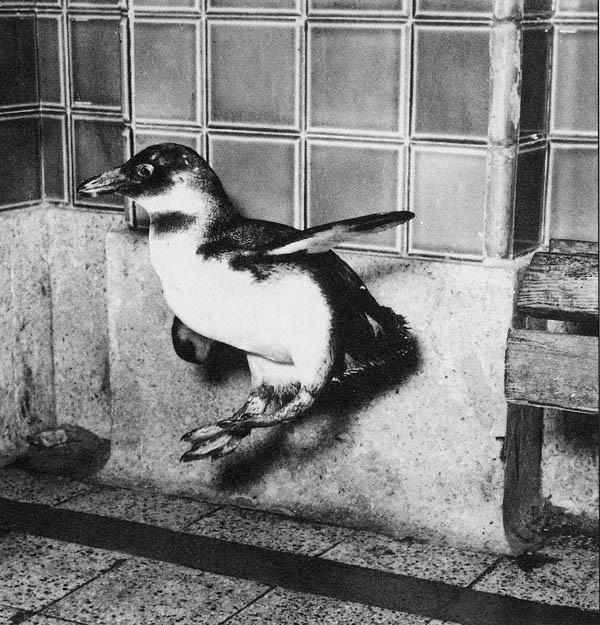 Sembra una fiaba la storia del pinguino Marco, forse il pinguino più famoso del mondo, per oltre trent'anni una delle attrazioni turistiche...
