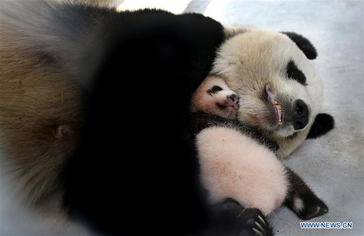 Two-month-old giant panda named Peanut