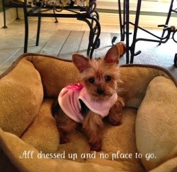 Lola is an adoptable Yorkshire Terrier Yorkie Dog in Baton Rouge, LA. Adoption Fee: $300 Fostered in Louisiana Age: 7 years Weight: 5 lbs. 12/28/12 - I'm so depressed!  I just lost my long time job an...