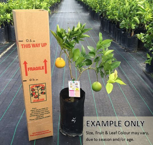 Dwarf Lemon & Orange Fruit Salad Tree - Two Fruits One Tree!! #FruitSaladTree