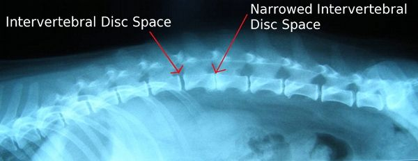 Intervertebral Disc Disease (IVDD) in Dogs « Oregon Veterinary Specialty Hospital