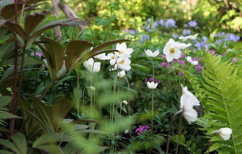 Темные листья - это роджерсия, белые цветки - анемона лесная, а также видны весенние флокы.