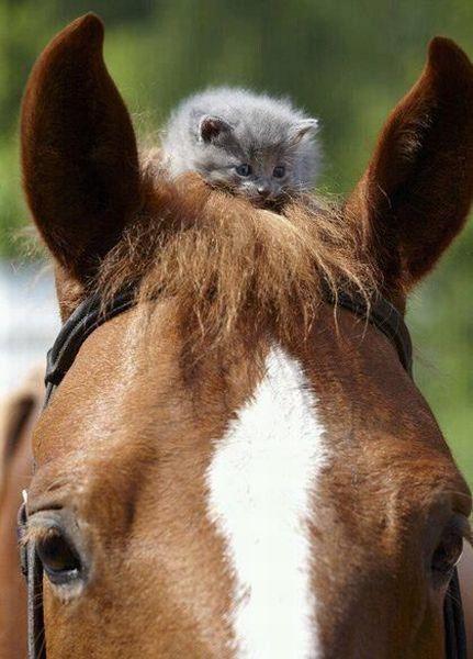 een grappig plaatje met een poes die op het hoofd van een paard zit