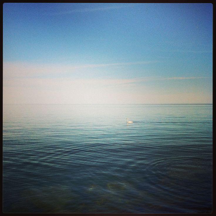 Lake Ontario swan