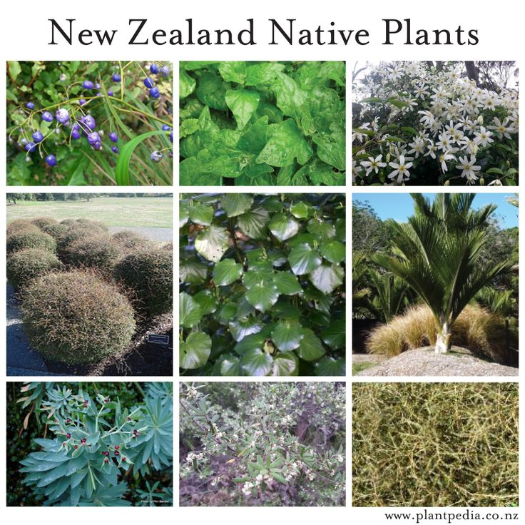 Plants native to New Zealand Dianella, Tetragonia tetragonoides, Clematis, Muehlenbeckia, Macropiper, Rhopalostylis, Euphorbia, Pimelea, Coprosma