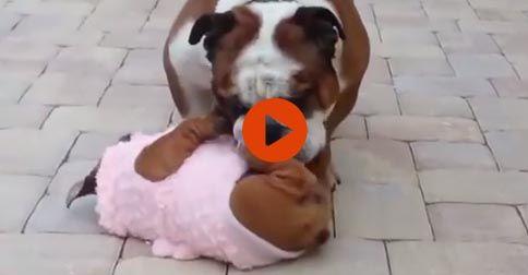 Bulldog Puppy Can't Get Up  #Funny#Cute#Bulldog#Puppy#Adorable