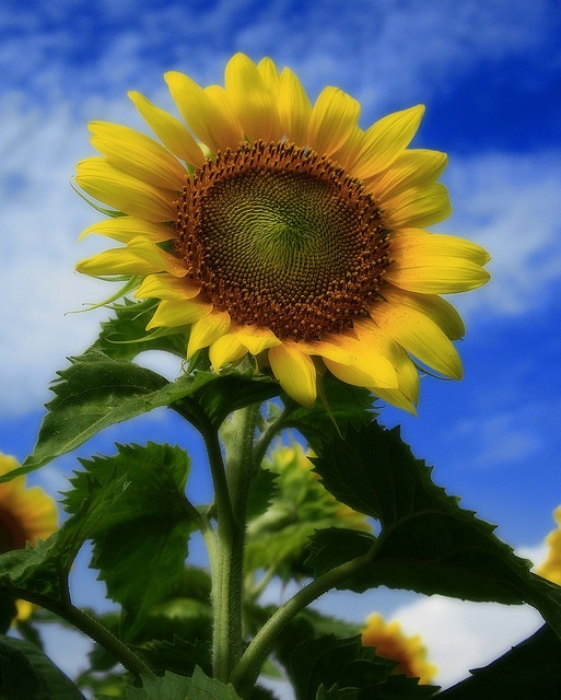 The sunflower had at least two meanings. The dwarf sunflower signifies adoration. The tall sunflower, haughtiness.