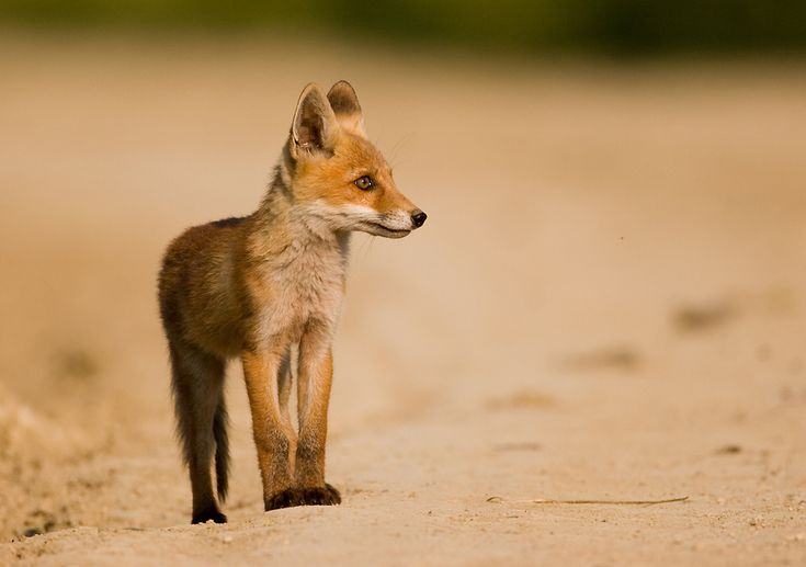 Vuk Der Kleine Fuchs