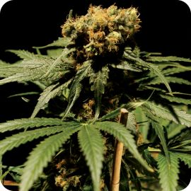 The Bulldog Chronic - strain - Bulldog Seeds | Cannapedia