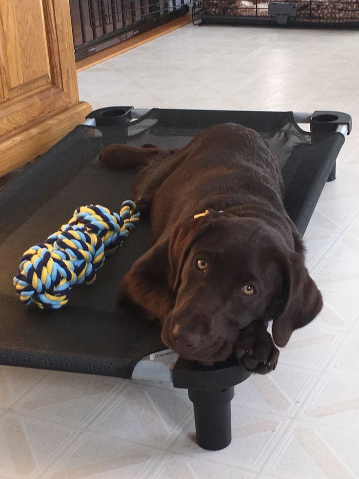 #chocolate lab Little Rascal Ruby Leigh