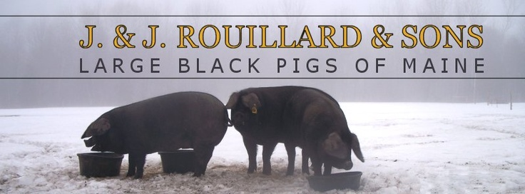 Large Black Pigs of Maine