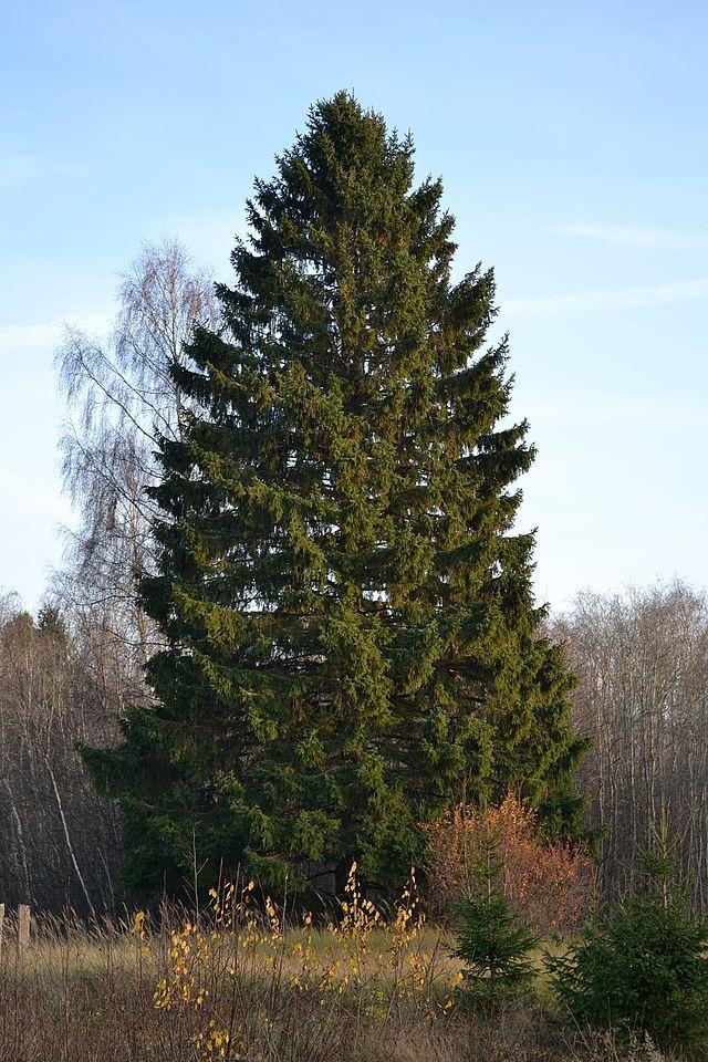 Název: Smrk ztepilý Latin. název: Picea abies Čeleď: borovicovité Latin. čeleď: Pinaceae