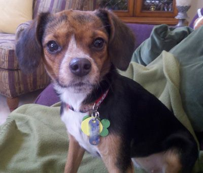 Cheagle : Chihuhua and Beagle mix