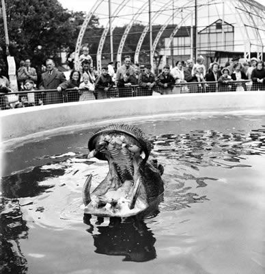 Nicholas the hippo at Belle Vue Zoo in Manchester, Greater Manchester, is fed with a cake brought for him by some Birmingham children. June 1960 #Vintage #Classic #Old #Retro #Historic #OldFashioned #Manchester #MCR #NorthWest #photos #photographs #pictures #images #prints