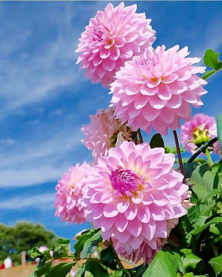 Fabulous Dahlias.