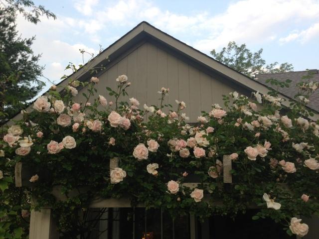 130 Best Roses My Favorites Images On Pinterest