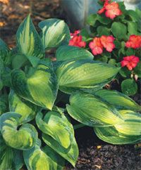 You'll never get bored with this beautiful hosta! #hosta #greatplants