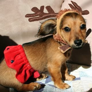 This baby Weendeer. | Community Post: 20 Adorable Dachshunds Who Are Totally Ready For Christmas