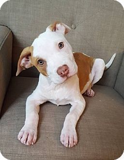Pit Bull Terrier Mix Puppy for adoption in Joliet, Illinois - Tia