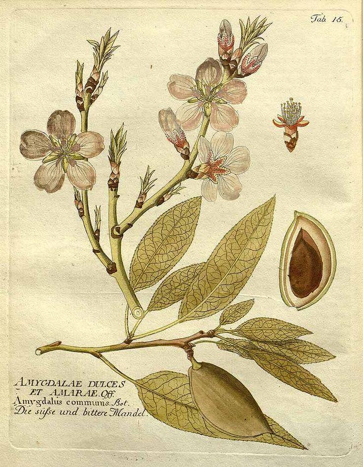 アーモンド バラ科 Prunus amygdalus (almond), Vietz (1800)