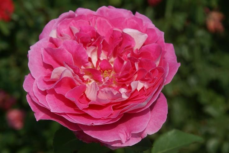 A modern rose which is not distinctly shrub nor bush – grows into a neat upright plant to shoulder or head height producing firm stems with clusters of three to five full, firm petalled blooms. The colour is a bi-colour of pink and white. This formidable, maintenance free...