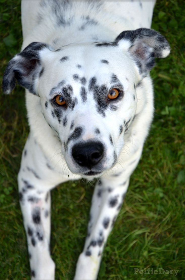 I have a Pitbull Dalmatian and he is the Cutest, friendliest puppy<3