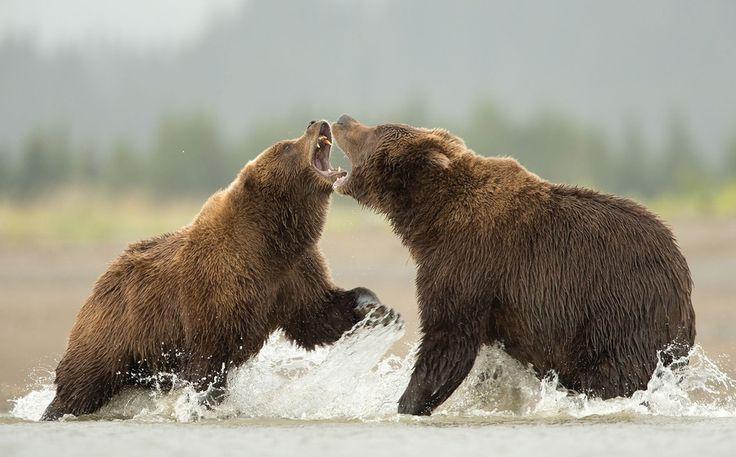 Рыбное место. Бурые медведи борются за территорию ловли лосося., Danny Green