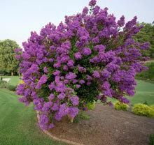 Catawba Crape Myrtle ... for the front corner of the house.
