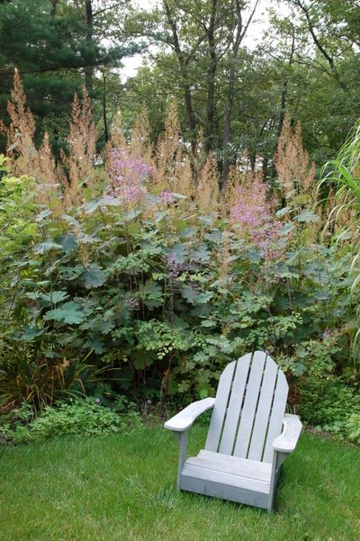 Macleaya cordata - plume poppy and Thalictrum hedge.