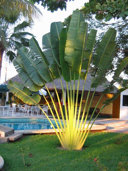 Jardim das Ideias palmeira do viajante