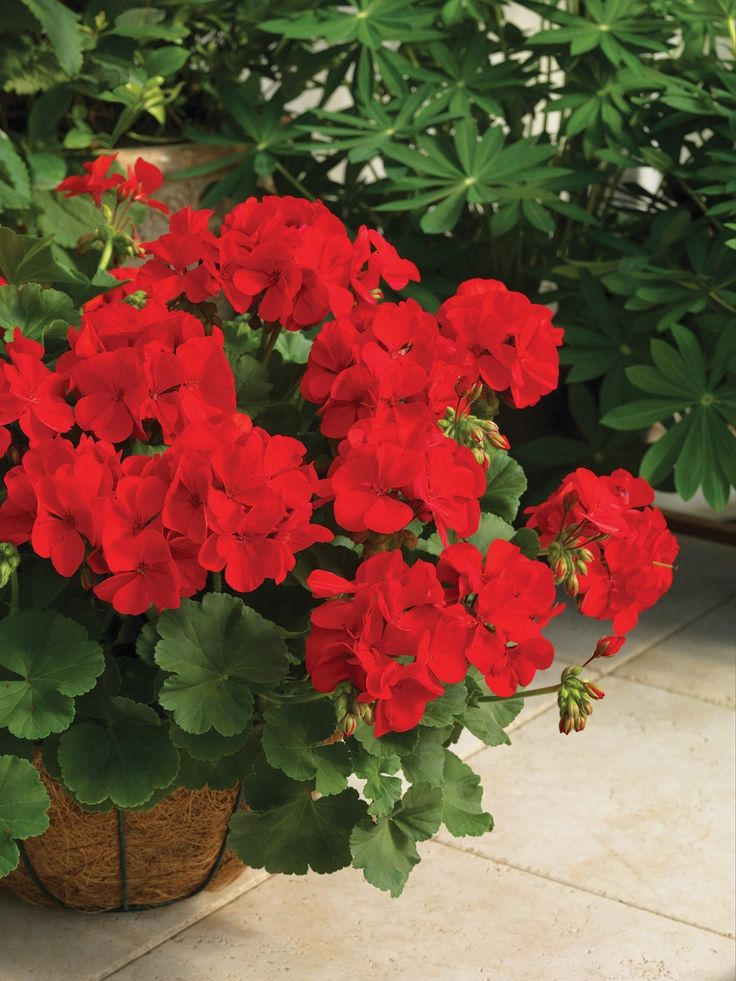 Potted Plants And The Necessary Spring Care: 25+ Best Ideas About Red Geraniums On Pinterest