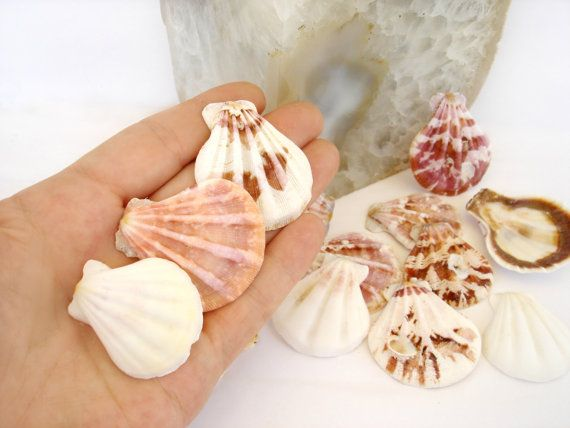 Set of 6 Natural Scallop Sea Shells Sea Shells by ShopToCreate