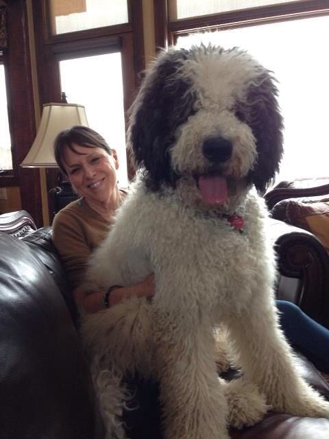 St Bernard x Poodle = St Berdoodle :) if I could get a large breed dog, this would be it!!! :D