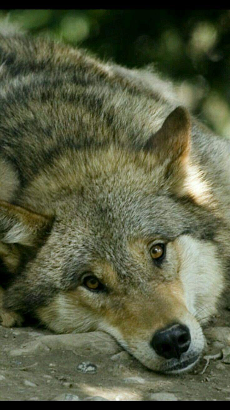 два фото грустных волков управления освещением дают