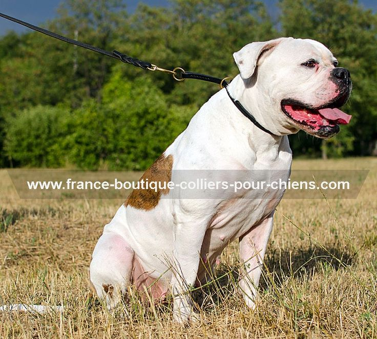 chien#de#france#collier Collier étrangleur en cuir pour Bouledogue Américain ->  14,81 €
