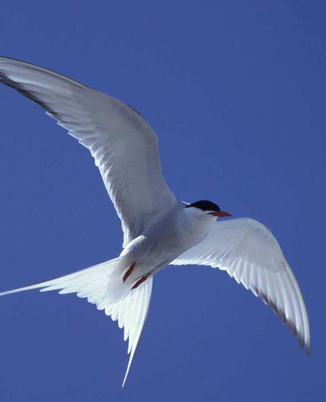 Arctic Tern                                                                                                                                                     More