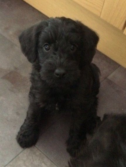 Beautiful Schnoodle pup.