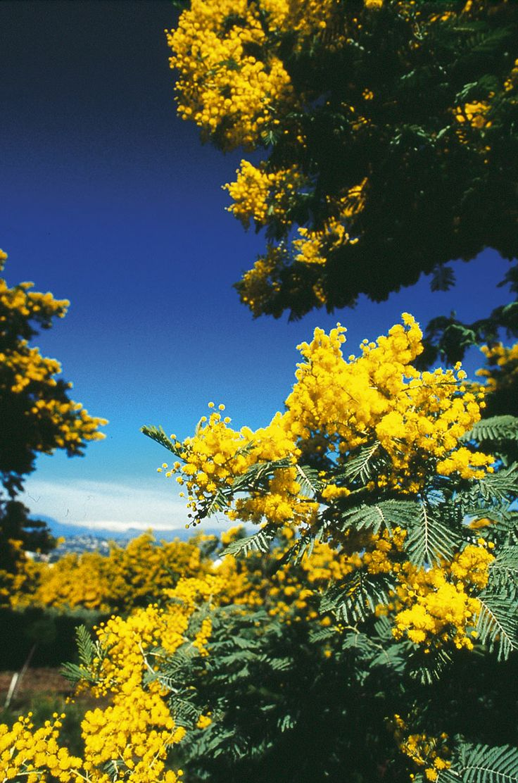 Le mimosa appartient au genre acacia et à l'ordre des mimosées.