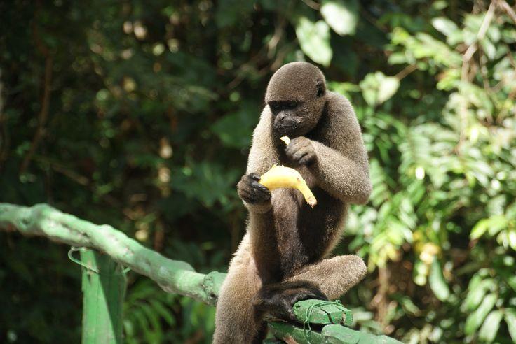 Monkey @ Amazon Rainforest #brasil #honeymoon