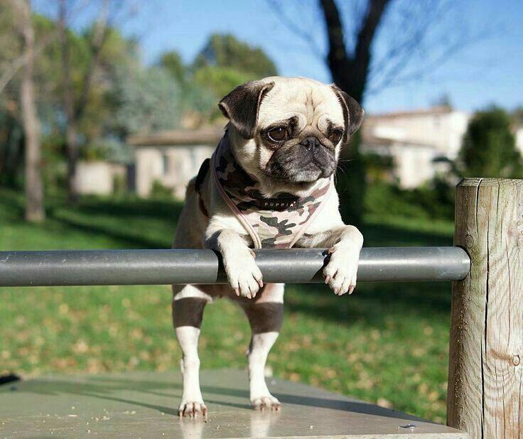 """After my crunches, I do #pug ups."" www.jointhepugs.com #pugpower #pugsnotdrugs #pugpuppy #puglover #dogs #cuteness #pugs #pugnation"